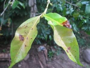 """Coffee leaf showing """"roya"""" rust"""