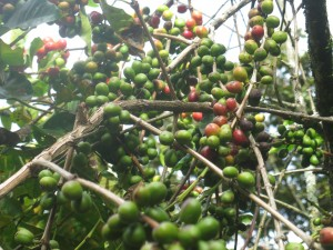 Great yields this past year in Pacayal, but with the presence of roya, significantly fewer cherries will be harvested next year.